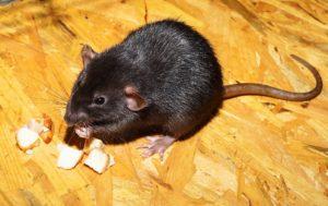 quels appâts pour attraper des souris